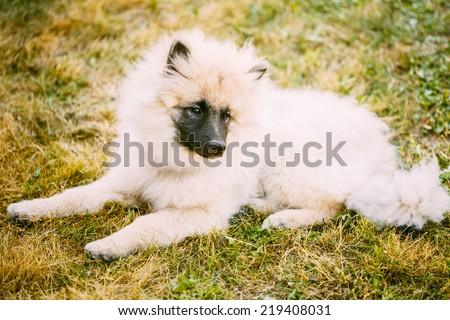 Gray Keeshound, Keeshond, Keeshonden Dog (German Spitz) Wolfspitz Close Up Portrait #219408031