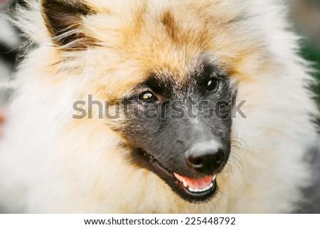 Gray Keeshound, Keeshond, Keeshonden Dog (German Spitz) Wolfspitz Close Up Portrait #225448792