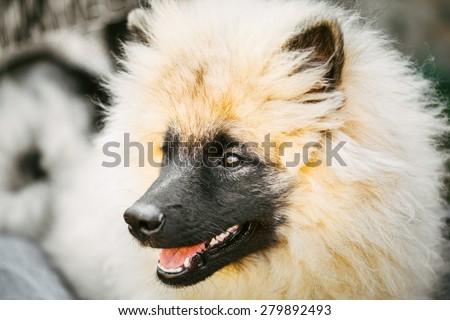 Gray Keeshound, Keeshond, Keeshonden Dog (German Spitz) Wolfspitz Close Up Portrait #279892493