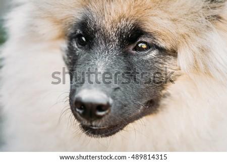 Gray Keeshound, Keeshond, Keeshonden Dog - German Spitz Wolfspitz Close Up Portrait #489814315