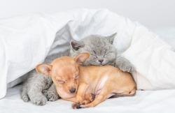 Gray kitten and toy terrier puppy sleep together under white blanket on a bed at home