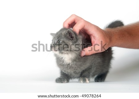 gray kitten enjoys getting scratched and petted on white