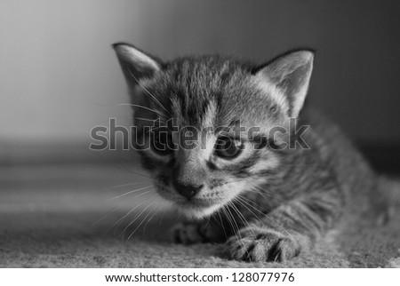 gray kitten in black and white photo tehnic. ISO 200, D3000