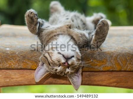 gray kitten is resting in a bizarre posture