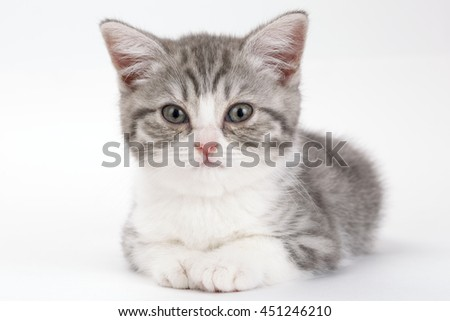 Gray kitten lies on a white background and looking straight ahead. Portrait of the Scottish cat. - Shutterstock ID 451246210