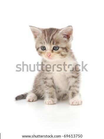 gray kitten on a white background