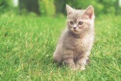 gray kitten on the green grass