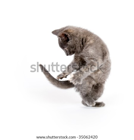Gray kitten playing and chasing its tail on white background