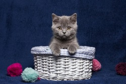 Gray kitten sitting in a basket. Blue background. Cat.