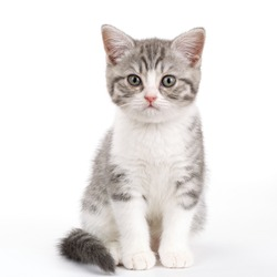 Gray kitten sitting on white background and looks directly. Portrait of the Scottish cat.