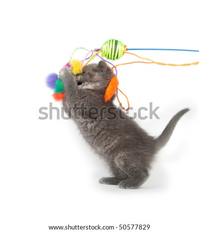 Gray kitten standing on back paws while playing with feather toy