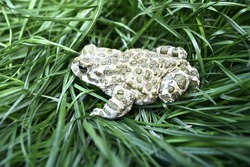 gray lake frog with small green dots in the grass.  amphibia.