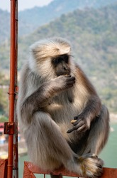 Gray langur, also called Hanuman langur is a genus of Old World monkeys native to the Indian subcontinent. The monkey is sitting on the handrails of a bridge and is eating food.