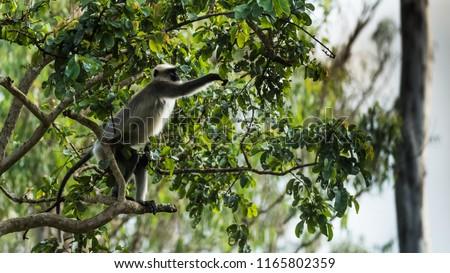 Gray Langur wandering in the Kabini wildlife sanctuary., Karnataka, India