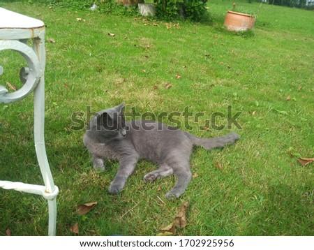 Gray Maltese Cat in garden Stok fotoğraf ©
