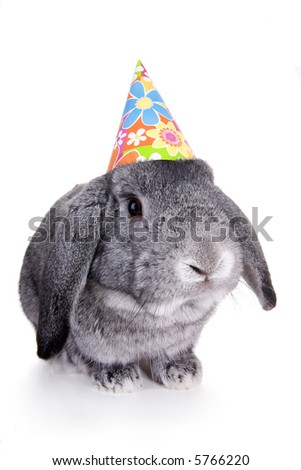 Gray Mini Lop Ear rabbit with Birthday hat on , isolated on white background