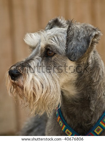 Gray miniature schnauzer dog in profile in front of neutral background outdoors.