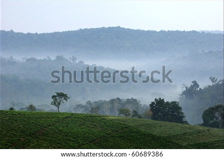 Gray morning fog over tea plantations Bwindi. Uganda.  Africa.