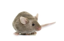 gray mouse in front of white background
