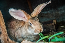 Gray or brown farm rabbit eat green grass in summer day