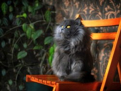Gray persian cat sitting on chair thinking against wall. Grey persian cat cute exotic animal looking away. Long fluffy hair gray cat - adorable pet portrait. Longhair full persian kitten pretty looks