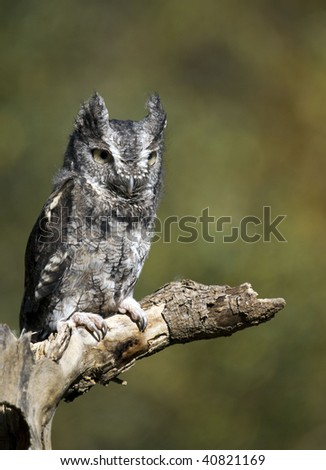Gray phased Eastern Screech Owl on a branch against blurred tree leaf background.