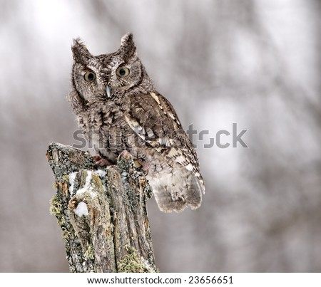 Gray-phased Screech Owl easily blends into the background.
