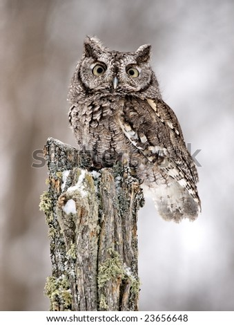 Gray-phased Screech Owl sitting on post.