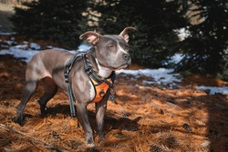 Gray Pit Bull dog wearing an orange dog harness and orange and black dog collar standing on pine cones and needles in nature.