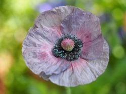 Gray poppy, amazing gray flower close-up