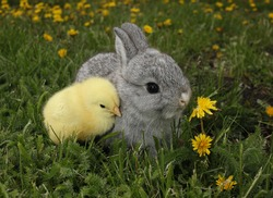 Gray rabbit bunny baby and yellow chick best friends