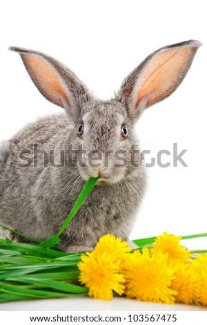 Gray rabbit eating grass
