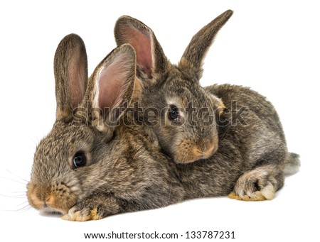 gray rabbit isolated on a white background - stock photo