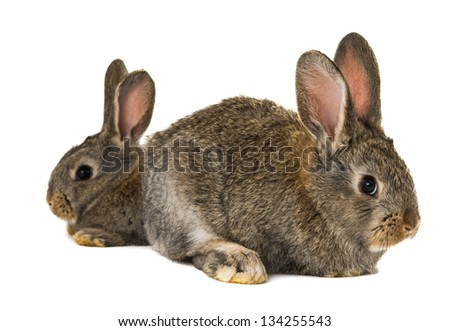 gray rabbit isolated on a white background