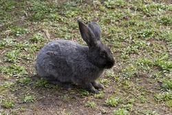 Gray rabbit on the lawn.