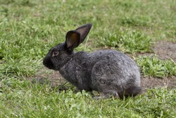 Gray rabbit on the lawn of the spring preparing for the jump.