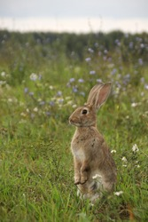 Gray rabbit stands on its hind legs in a flowering summer meadow
