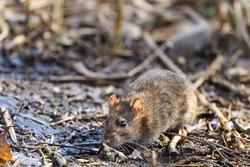 Gray rat on landfill