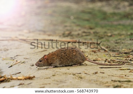 gray rat on the lake of waste with sunny hotspot,symbol year , the plague, rodents, carrier infections