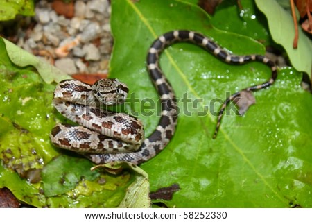 Gray Rat Snake (Elaphe obsoleta) - Alabama