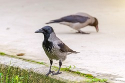 Gray ravens, crows in city . Close view