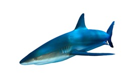 Gray Reef shark isolated on white background