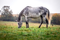 Gray roan horse grazing on pasture in rain. Animal farm with beautiful thorougbred horse