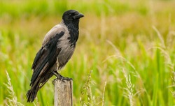 Gray rural country crow perched on a wooden fence pole in a summer meadow