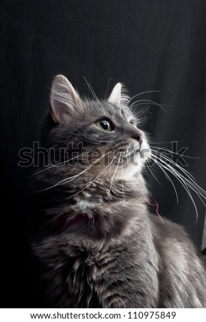 gray russian cat on black background #110975849
