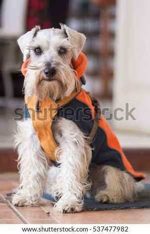 Gray Schnauzer Dog wearing a coat  #537477982