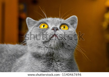 Gray Scottish cat, portrait on brown background #1140467696