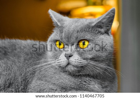Gray Scottish cat, portrait on brown background #1140467705