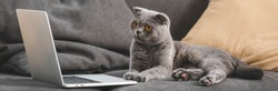 gray scottish fold cat lying on sofa and looking at laptop