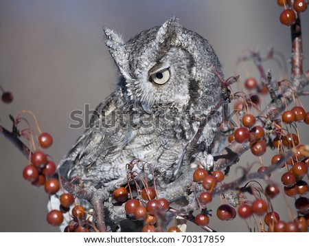 Gray Screech owl closeup sitting on a red berry covered branch.